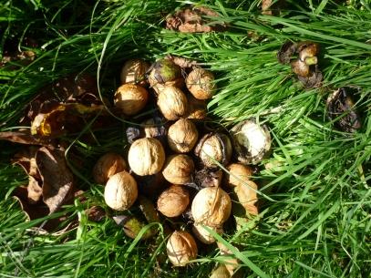 walnut12